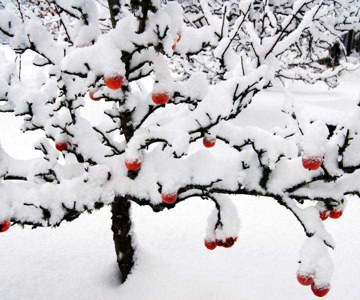 ambrosia in winter