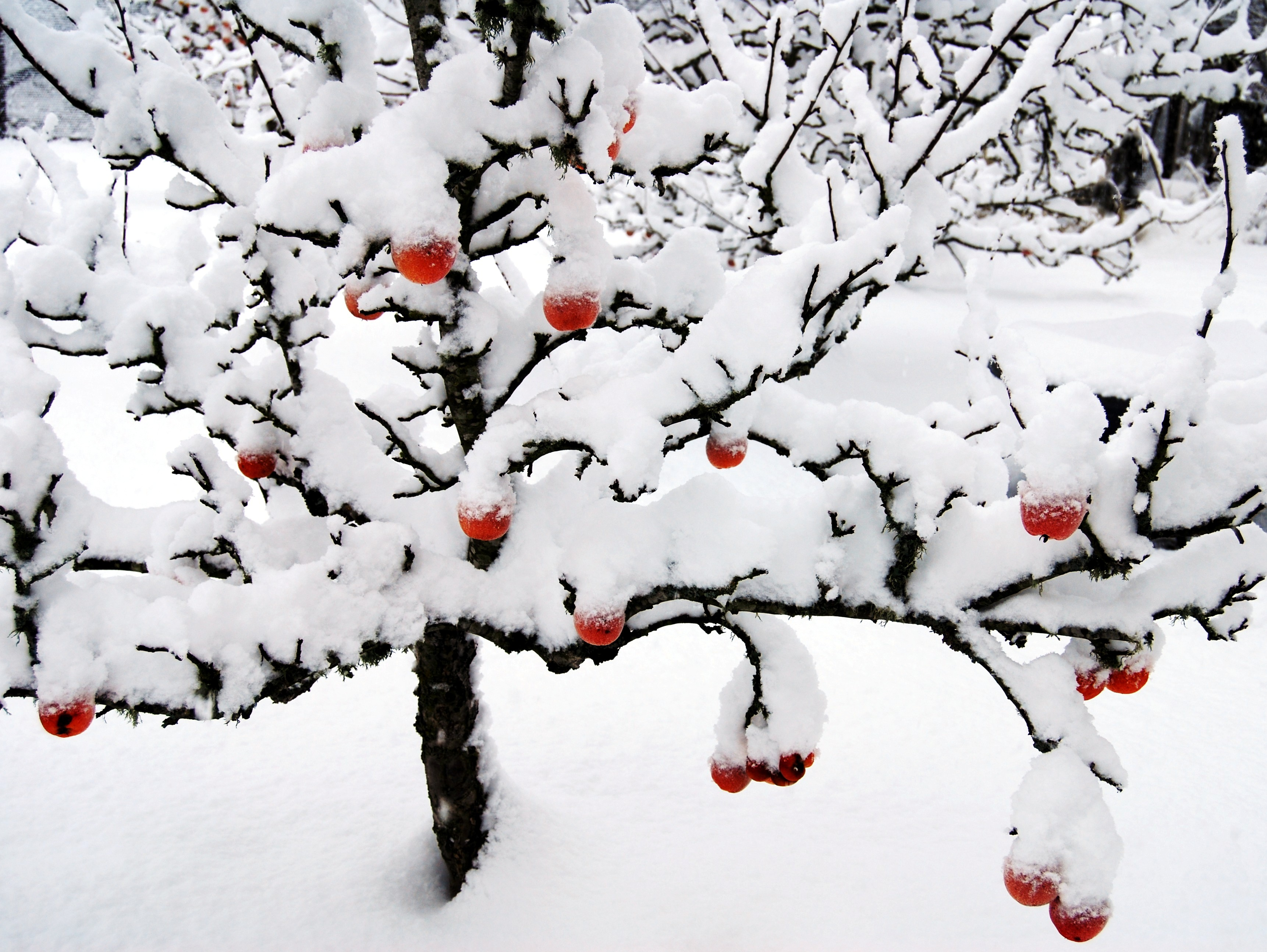 ambrosia in winter